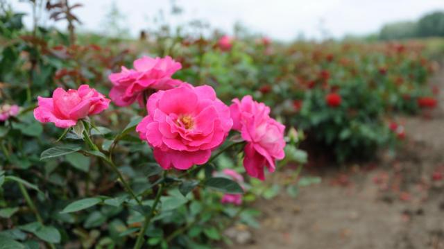 Kezdeményezték a szőregi rózsatő hungarikummá nyilvánítását