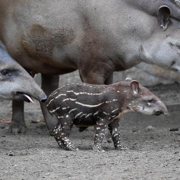 Tapír született a debreceni állatkertben