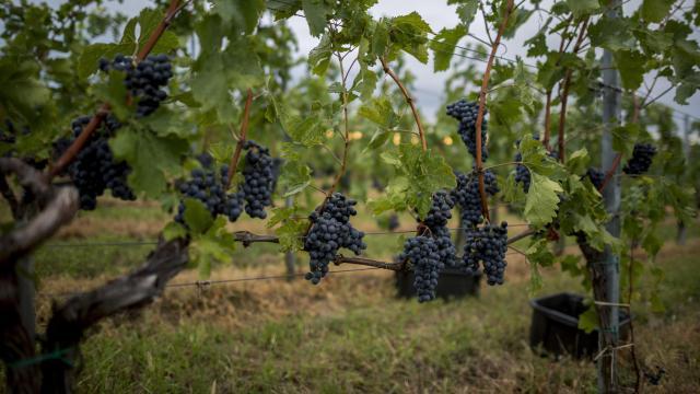 A megszokottnál tíz nappal előrébb tart a szőlőérés Villányban