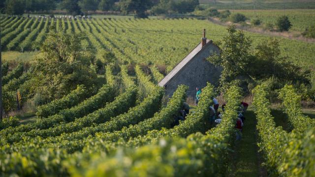 Jó szőlőtermést várnak idén a termelők