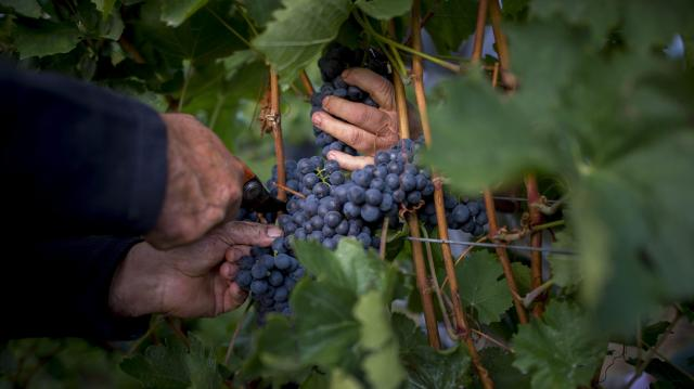 Közzétette az idei borszőlő átlagár előrejelzését a Hegyközségek Nemzeti Tanácsa