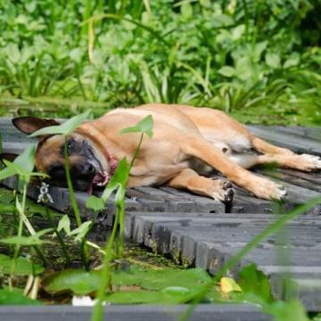 A hőgutától a háziállatokat is óvni kell
