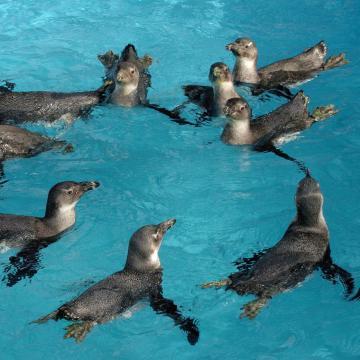 Pápaszemes pingvin látott napvilágot a debreceni állatkertben