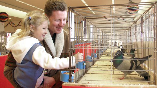 Magyarországon 4000 ember foglalkozik galambászattal