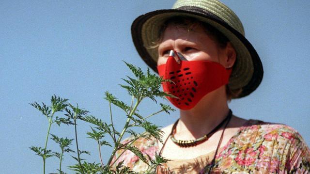 Pollenhelyzet - Másodfokú riasztás a parlagfű miatt