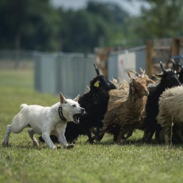 Szaporcán rendezik a magyar pásztorkutyák terelőversenyét