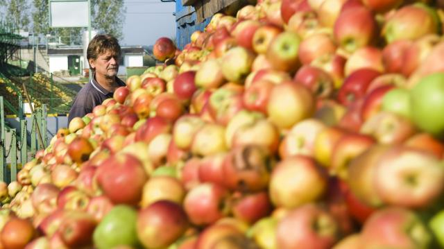 Várhatóan 700-750 ezer tonna alma terem idén
