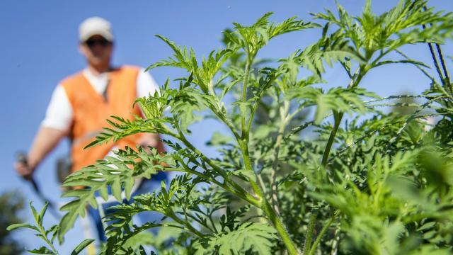 Jelentősen csökkent a parlagfű pollenkoncentrációja
