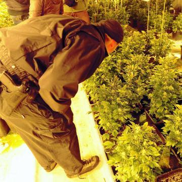 Kenderültetvényt találtak a rendőrök Bakson