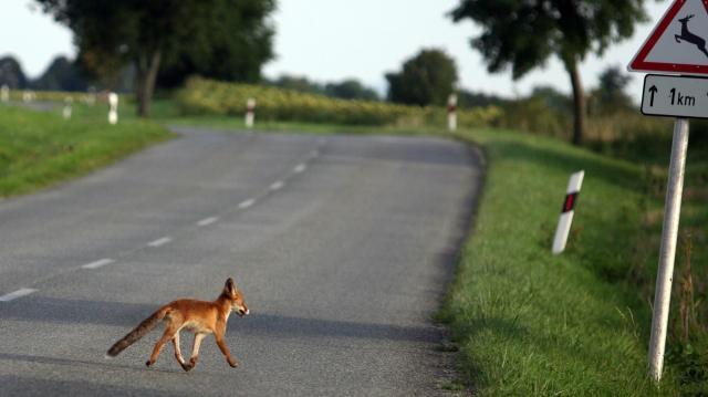 Hétvégén indul a vadon élő rókák őszi veszettség elleni vakcinázása