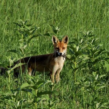 Kezdődik a vadon élő rókák őszi veszettség elleni vakcinázása