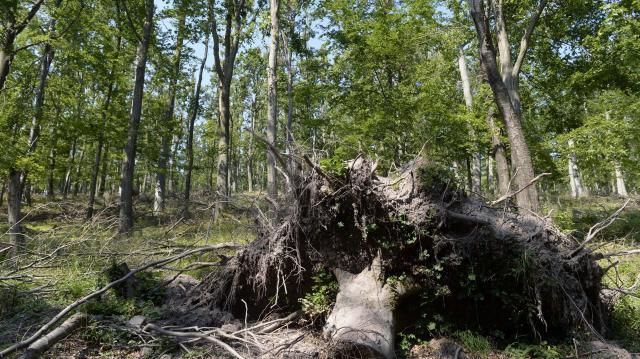Inváziós fajok ellen küzdenek környékünk erdészei