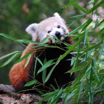 Új vörös panda érkezett a Szegedi Vadasparkba