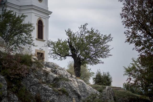 A pécsi havihegyi mandulafa lett az év fája