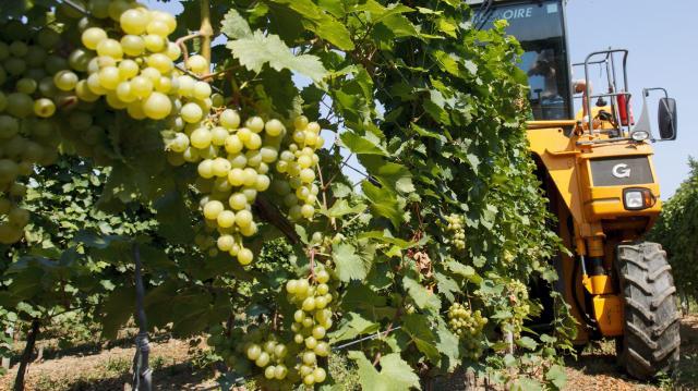 Eddig több szőlőt szüreteltek a gazdák tavalyhoz képest