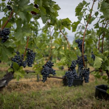 Növény-egészségügyi zárlatot rendeltek el Pécsen és környékén