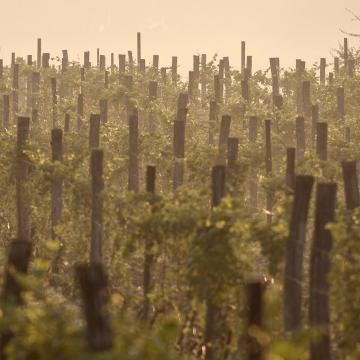 Rekord szőlő- és bortermés lehet idén