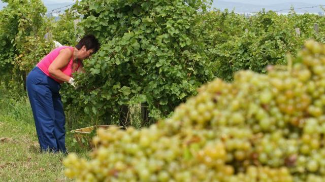 Újra igényelhető a szőlő szerkezetátalakítási támogatás