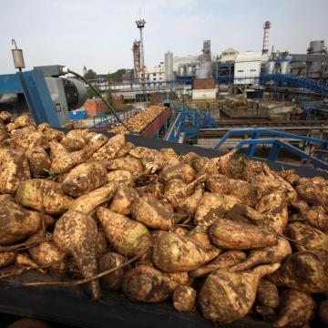 Gyűlik az alapanyag az egyetlen magyar cukorgyárban