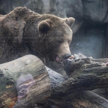 Medve futott át Szalonnán