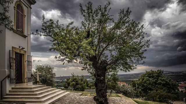 Pécsi fa képviseli Magyarországot az Európa fája versenyen