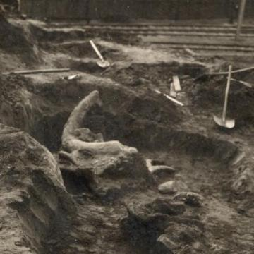 A pécsi mamut maradványait mutatja be a Janus Pannonius Múzeum