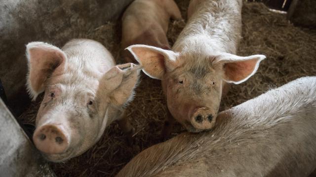 Csökkentheti a sertésfertőzések terjedését egy mosonmagyaróvári fejlesztésű eljárás