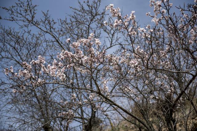Már virágzik a mandula Pécsen