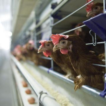 Mégsem épül óriás tojótyúkfarm térségünkben