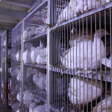 A madárinfluenza megbetegedések megelőzésének fontosságára figyelmeztet a Nébih