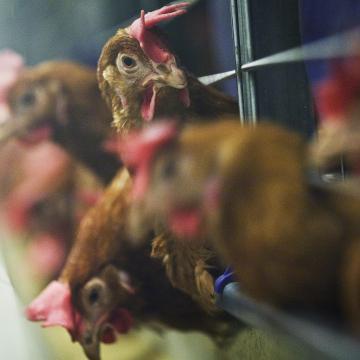 Fontos a madárinfluenza megelőzése