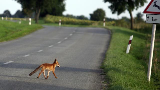 Jövő héten indul a vadon élő rókák tavaszi veszettség elleni vakcinázása