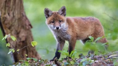 Kezdődik a vadon élő rókák tavaszi veszettség elleni vakcinázása