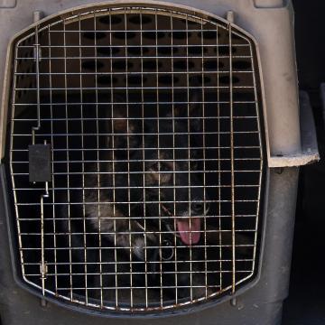Felfüggesztett börtönre ítéltek egy olasz kutyacsempészt
