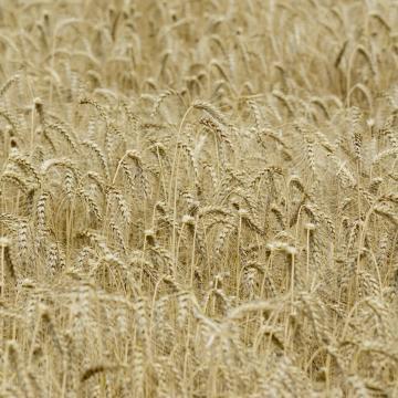 Magosz: az aszály miatt a kalászos gabona 30 százaléka lehet a veszteség