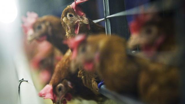 Milliárdok baromfi állatjóléti támogatásra