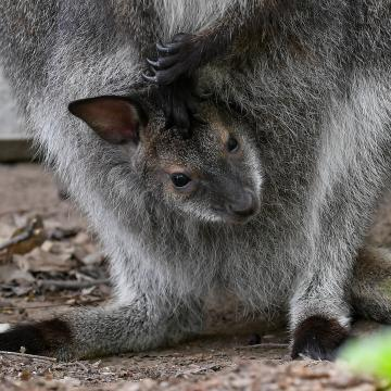 Bennett-kenguru született a debreceni állatkertben