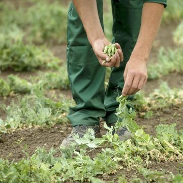 Megmentette a hétvégi eső a zöldség veteményeket