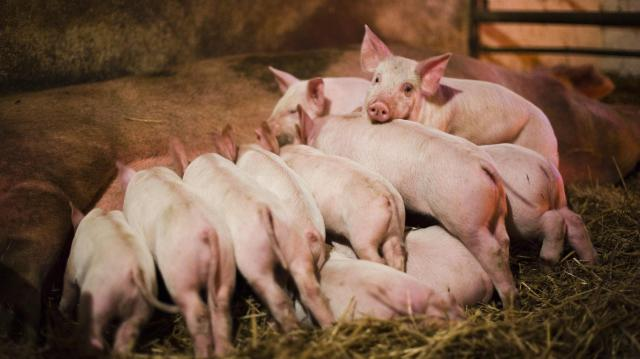 A magyar állattartók profitálhatnak is a sertéspestis okozta piaci folyamatokból