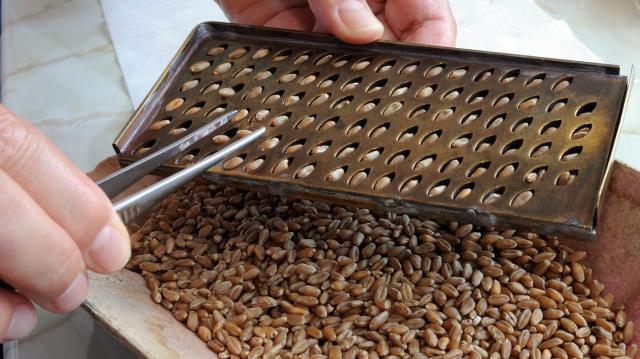 Bizonytalan a gabonatermesztés jövedelmezősége az aszály miatt