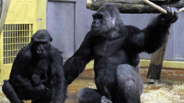Gorillanap is színesíti a Föld fesztivált az állatkertben