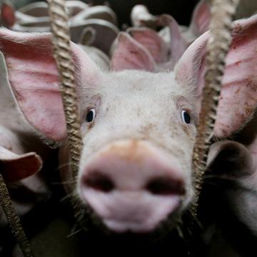 Agrárkamara: a sertéspestis kínai megjelenése segítheti az uniós sertéstenyésztők helyzetét