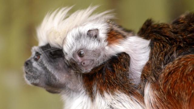 Liszt-majmocska született a Szegedi Vadasparkban