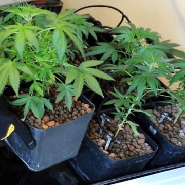 Kannabiszpalántákat dédelgetett két férfi