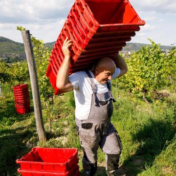 Zöldszüreti támogatás - Az Agrárminisztérium új borpiaci intézkedéseket vezet be