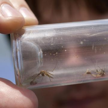 Magyarországon is megjelent a fertőzéseket potenciálisan terjesztő ázsiai tigrisszúnyog