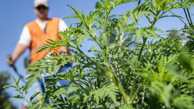 Közel 30 ezerrel nőt a parlagfűre allergiások száma