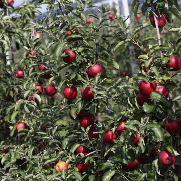 Emelkedhet az alma ára, gyenge lesz az idei termés