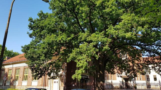 Kaposvári fára is szavazhatunk az Év Fája versenyen