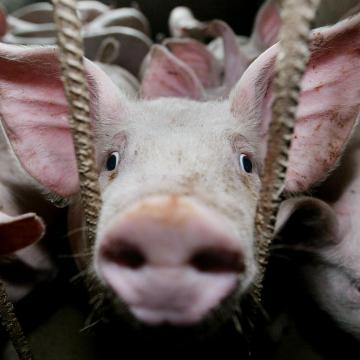 Afrikai sertéspestis - Magyarországon nem érintett a házisertés-állomány